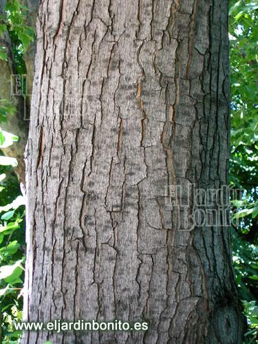 Arce plateado acer saccharinum - Arce arbol variedades ...