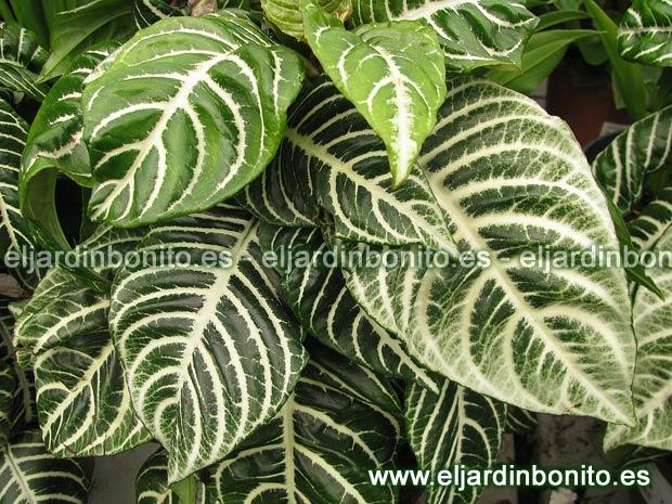 Plantas de interior cultivo y cuidados for Plantas de interior hojas grandes