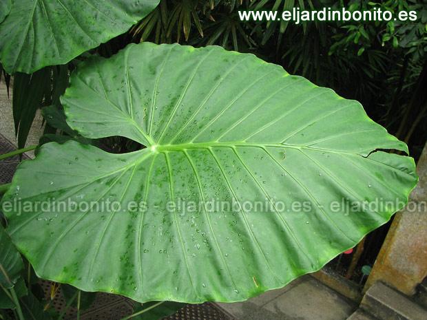 Alocasia oreja de elefante alocasia spp for Planta ornamental oreja de elefante