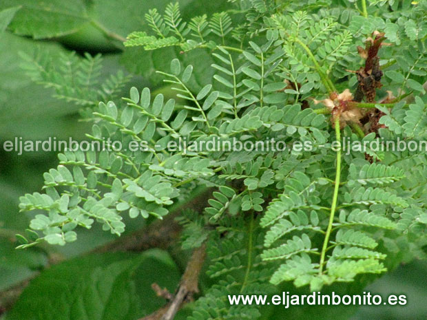 Caesalpinia poinciana ave del para so barba de chivo - Caesalpinia gilliesii cultivo ...