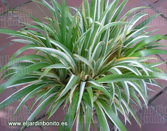 Cinta malamadre chlorophytum comosum variegatum - Cinta planta ...