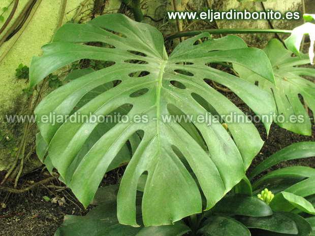 Costilla de ad n monstera deliciosa for Plantas de interior hojas grandes