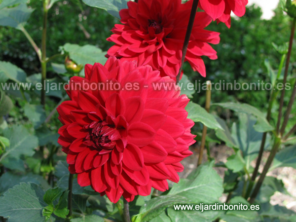 Dalia Babylon red