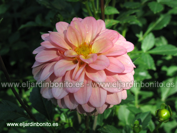 Dalia Peaches and cream