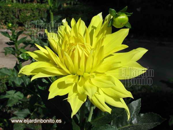 Dalia Yellow passion