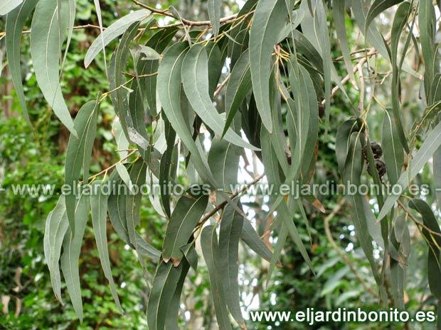 Allpe medio ambiente blog medioambiente eucalipto - Informacion sobre el eucalipto ...