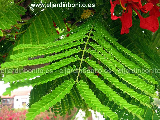 Flamboyan delonix regia for Arboles de hojas perennes en chile