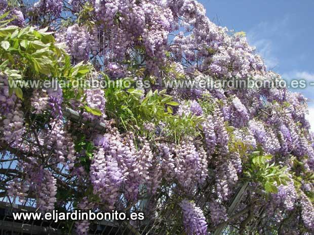 Glicinia wisteris sinensis - Glicinia en maceta ...