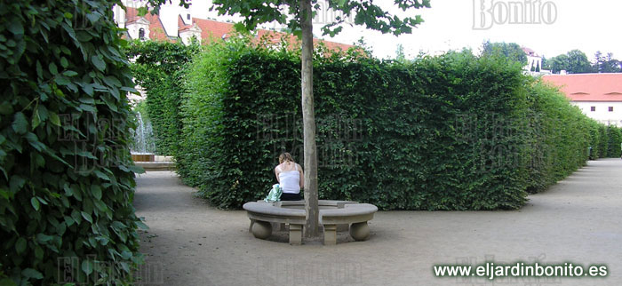 Haya fagus sylvatica for Jardines wallenstein