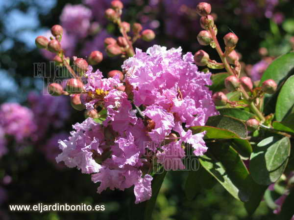 lagerstroemia, flor