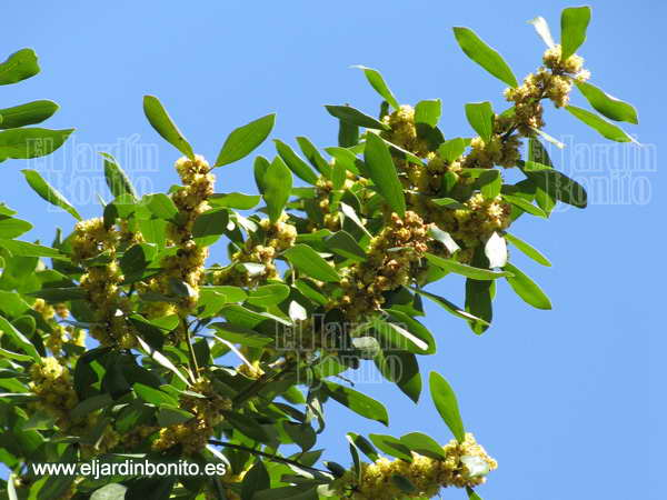 Laurel laurus nobilis - Poda del laurel ...