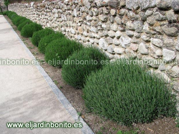 Lavanda espliego lavandula angustifolia - Cuidados planta lavanda ...