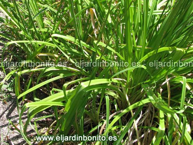 Hemerocalis lirio de d a azucena de san juan for Azucena plantas jardin