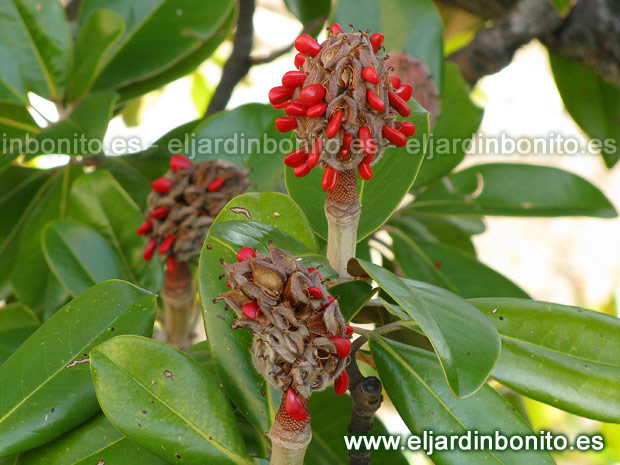 Magnolia com n magnolio magnolia grandiflora - Semilla de magnolia ...