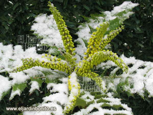 mahonia winter sun, flores