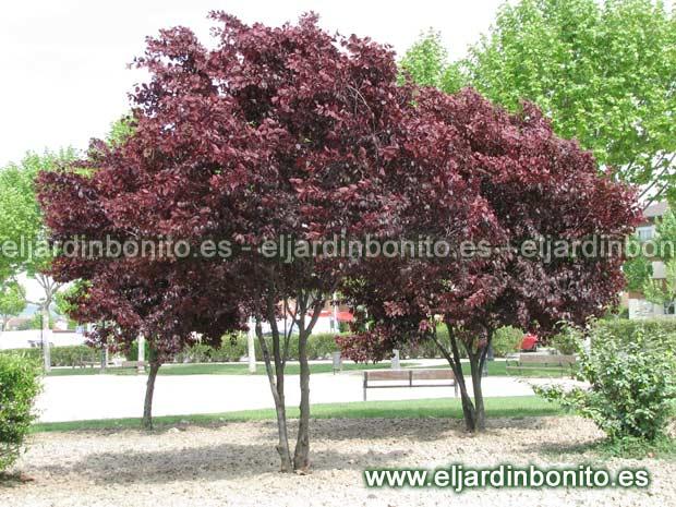 Ciruelo cerezo mirob lano ciruelo ornamental prunus for Arbol ciruelo de jardin