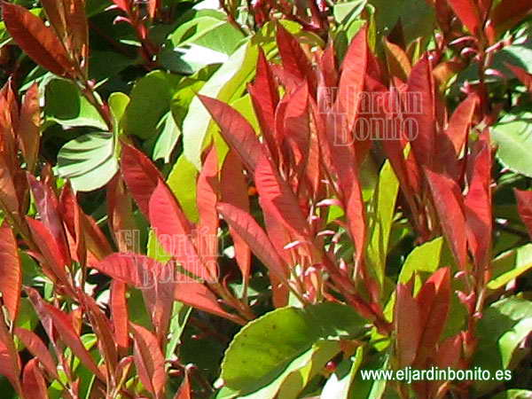 "Fotinia, photinia fraseri ""Red robin"""
