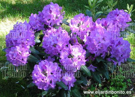 Rododendro rhododendrom especies - Rododendro arbol ...