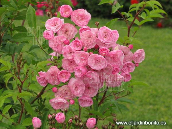 rosa heavenly pink