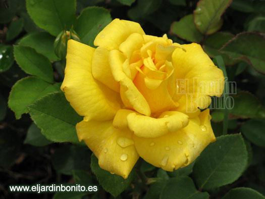 Rosas clases fotos 02 - Clases de flores amarillas ...