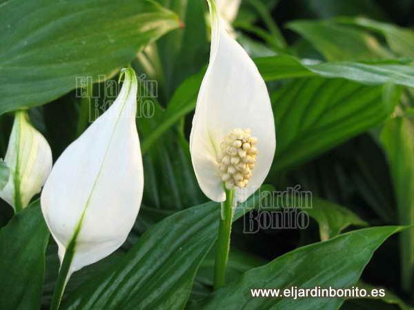 Espatifilo spathiphyllum wallisii for Plantas de interior anturio
