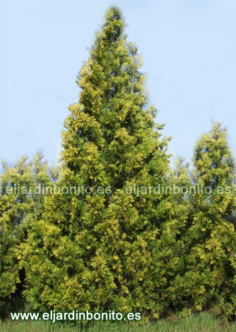 Delaware maduro verde del arborvita gigante