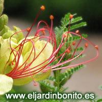 Callistemon citrinus limpiatubos - Caesalpinia gilliesii cultivo ...